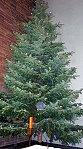 Dieser Weihnachtsbaum strahlt in der Christmette !